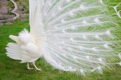 Los pavos reales blancos masculinos son cola-plumas separadas IX Imagenes de archivo