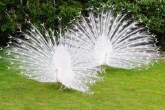 Los pavos reales blancos masculinos son cola-plumas separadas VIII Fotos de archivo libres de regalías