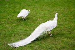 Los pavos reales blancos masculinos son cola-plumas separadas XIII Fotos de archivo libres de regalías