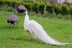 Los pavos reales blancos masculinos son cola-plumas separadas XXIII Imagen de archivo libre de regalías