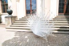 Los pavos reales blancos son plumas de cola separadas Foto de archivo