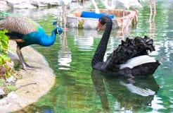 Los pavos reales y los cisnes están jugando juntos en el parque zoológico Foto de archivo