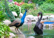 Los pavos reales y los cisnes están jugando juntos en el parque zoológico Imagen de archivo libre de regalías