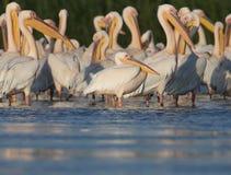 Los pelícanos blancos de la pequeña multitud descansan sobre el agua Imagenes de archivo