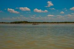 Los pelícanos blancos y los pájaros negros son situados por el río en el parque nacional Rio Lagartos, México yucatan Foto de archivo