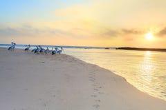 Los pelícanos miran la salida del sol Imagen de archivo