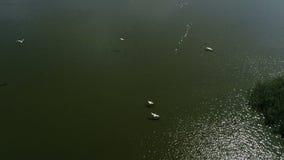 Los pel?canos jerarquizan en el lago almacen de metraje de vídeo