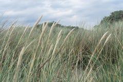 Los penachos de la hierba doblaron por el viento en el Grenen en Dinamarca Foto de archivo