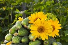 Los pepinos apilaron la pila, con las flores y los ovarios amarillos g amarillo Imagenes de archivo