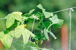 Los pepinos crecen en el jardín en el jardín Comida sana sana fotos de archivo libres de regalías