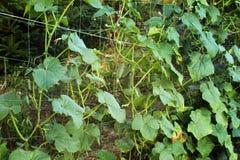 los pepinos de Bush en el enrejado Fotos de archivo