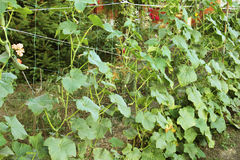 los pepinos de Bush en el enrejado Foto de archivo