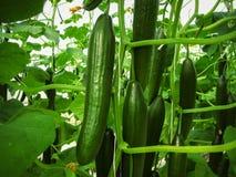 Los pepinos del verde largo están colgando en los tallos Foto de archivo libre de regalías