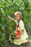 Los pepinos felices de la cosecha de la chica joven en el verano cultivan un huerto Foto de archivo