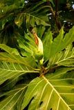 Los pequeños árboles del pan con las hojas grandes en el jardín foto de archivo