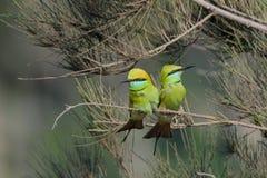 Los pequeños Abeja-comedores verdes juntan cortejo en el jardín en Goa b Imagen de archivo libre de regalías