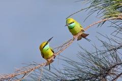 Los pequeños Abeja-comedores verdes juntan cortejo en Goa, la India Foto de archivo