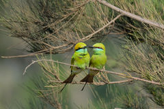 Los pequeños Abeja-comedores verdes juntan cortejo en la playa de Goa, la India Fotos de archivo