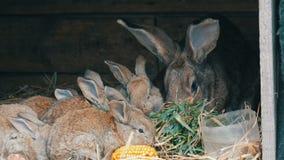 Los pequeños cachorros jovenes divertidos hermosos del conejo y su mamá comen la hierba en una jaula en granja almacen de video