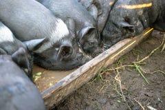 Los pequeños cerdos negros comen de un canal Imagenes de archivo