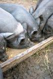Los pequeños cerdos negros comen de un canal de madera Imagen de archivo