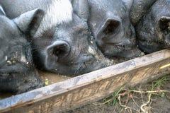 Los pequeños cerdos negros comen de un canal de madera en la granja Foto de archivo libre de regalías