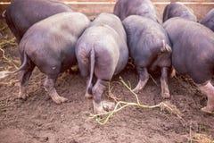 Los pequeños cerdos negros comen del canal Fotografía de archivo