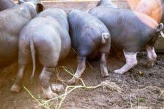 Los pequeños cerdos negros comen del canal Imagen de archivo