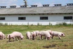 Los pequeños cochinillos de los cerdos pastan libremente en el verano de la granja Imagen de archivo libre de regalías