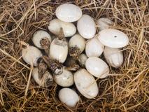 Los pequeños cocodrilos del bebé están tramando de los huevos. Fotos de archivo libres de regalías