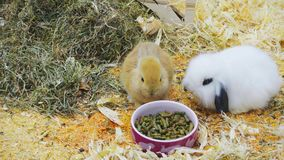 Los pequeños conejos comen y se divierten almacen de video