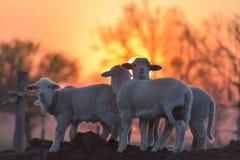 Los pequeños corderos recién nacidos en primavera en puesta del sol se encienden Imágenes de archivo libres de regalías