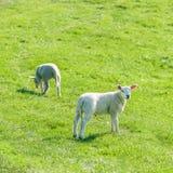 Los pequeños corderos recién nacidos lindos en una primavera verde colocan Fotos de archivo