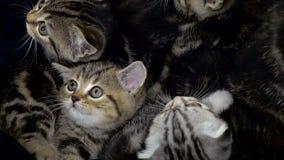 Los pequeños escoceses de los gatitos doblan y derecho se están sentando en un espacio incluido almacen de metraje de vídeo