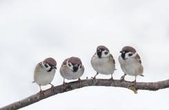 Los pequeños pájaros miran uno a curiosamente, sentándose en una rama Fotos de archivo