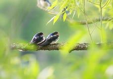 Los pequeños pájaros tragan sentarse en una rama sobre una charca en un soleado Foto de archivo