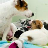 Los pequeños perros blancos recién nacidos del terrier de Russell del enchufe están jugando en una manta colorida Foto de archivo libre de regalías
