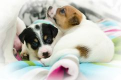 Los pequeños perros blancos recién nacidos del terrier de Russell del enchufe están jugando en una manta colorida Imagenes de archivo