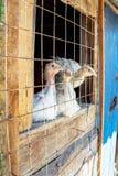 Los pequeños pollos blancos del pavo detrás de un metal rallan Imágenes de archivo libres de regalías