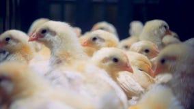 Los pequeños polluelos se incorporan en una jaula del metal, cierre almacen de metraje de vídeo