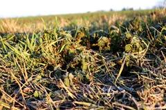 Los pequeños troncos hermosos de la hierba crecen en campo Foto de archivo libre de regalías