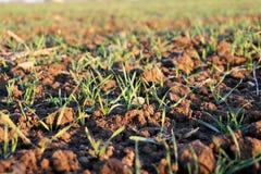 Los pequeños troncos hermosos de la hierba crecen en campo Fotografía de archivo libre de regalías