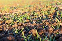 Los pequeños troncos hermosos de la hierba crecen en campo Foto de archivo