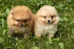 Los perritos anaranjados del perro de Pomerania de Pomeranian se están sentando en hierba verde Imagen de archivo libre de regalías