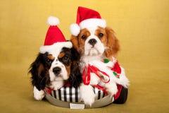 Los perritos arrogantes de rey Charles Spaniel con Papá Noel capsulan los sombreros en fondo amarillo Fotografía de archivo