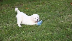 Los perritos de un golden retriever están jugando en el parque