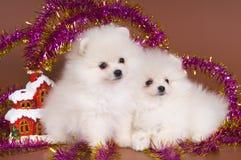 Los perritos de un perro de Pomerania-perro resuelven Año Nuevo Fotografía de archivo