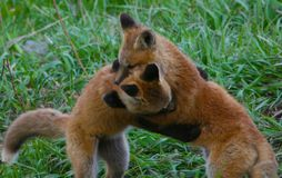 Los perritos del Fox juegan lucha en un campo herboso en Jackson Hole, Wyoming Imagenes de archivo