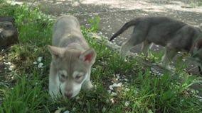 Los perritos graciosamente hermosos del perro lobo de Saarloos que juegan en césped verde en el parque almacenan el vídeo de la c almacen de video