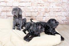 Los perritos grises, negros y marrones crían Neapolitana Mastino Controladores de perro que entrenan a perros desde niñez Imagen de archivo libre de regalías